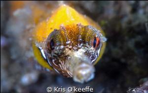 Tiger Pipefish, Filicampus tigris by Kris O'keeffe