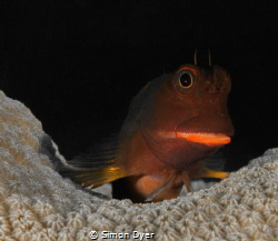 redlip blennie was on the south side of grand cayman ther... by Simon Dyer