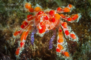 Tiny Red Crab, Divi Beach Bonaire by Alejandro Topete