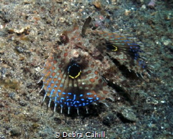 Oriental Flying Gurnard Lembeh Strait Indonesia by Debra Cahill