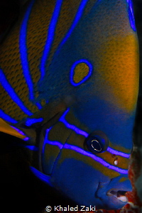 Blue Ringed Angelfish by Khaled Zaki