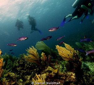Creole Wrasse, Reef, and Divers at Atlantis Dive Site Isl... by Daniel Waldman