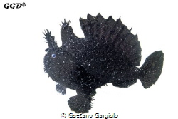 Black-scatter Angler-fish.