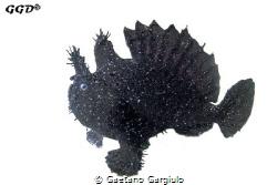 Black-scatter Angler-fish. Conditions were so bad that v... by Gaetano Gargiulo