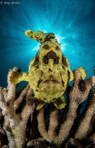 Frogfish Profile by Tony Cherbas