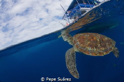 This turtle likes going up to the boats during the surfac... by Pepe Suárez