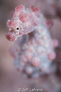 Spotted this little pygmy seahorse at 25 meters on a seaf... by Jeff Lafrenz