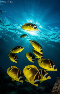 Butterfly Mountain... Raccoon Butterflyfish by Tony Cherbas