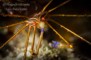 Arrow Crab with tweezers, Klein Bonaire by Alejandro Topete