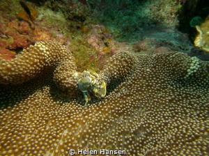 Crab making itself a home at nemos by Helen Hansen