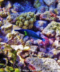 Blue Wrasse, Kahaluu Beach Park, Hawaii by Alison Ranheim