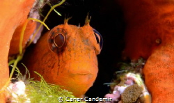 Orange Blenny by Caner Candemir
