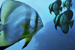 Nikon D2x-Nikon strobe-sealux housings- COMPOSING- 3 batfish by Manfred Bail