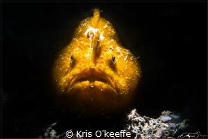 Striate Anglerfish, Antennarius striatus by Kris O'keeffe