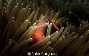 Clownfish by Julio Sanjuan
