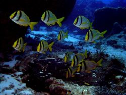 These Porkfish are always here and swimming near the same... by Steven Anderson
