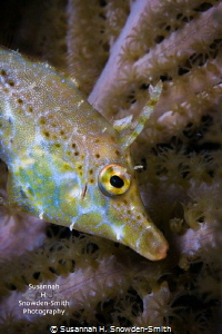 A tiny slender filefish hides in a gorgonian--no crop.  I... by Susannah H. Snowden-Smith