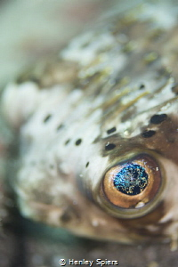 Close Encounter with a Balloonfish by Henley Spiers