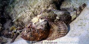 Scorpine Fish by Daniel Waldman