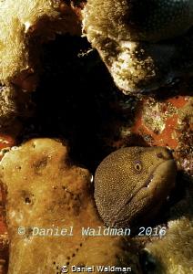 Spotted Eel by Daniel Waldman