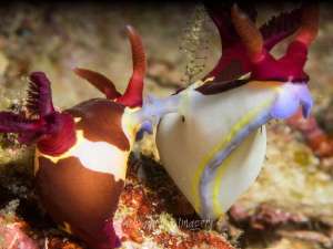 Mating Nudi's by Jan Morton