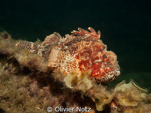 Endemic Scorpaena Sumptuosa under the Busselton Jetty by Olivier Notz