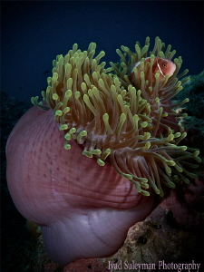 Anemone fish by Iyad Suleyman