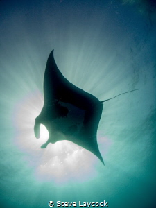 Manta - at the Boiler - Socorro Isalnds by Steve Laycock