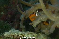 True Percula Clown hiding by Neal Kolonay