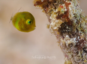 A very small 2mm Juvenile Diamond Filefish.  Olympus E-M1... by Jan Morton