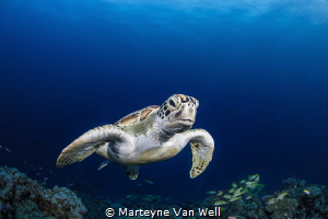 A curious green turtle taking a peak at the dome port by Marteyne Van Well