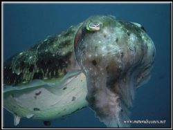 This cuttlefish was part of a group of females laying egg... by Erika Antoniazzo