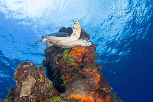 Turtle in Shallow colombia, Cozumel Mexico by Alejandro Topete