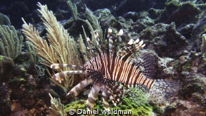 Lion Fish by Daniel Waldman