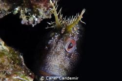 Blennius fluviatilis by Caner Candemir