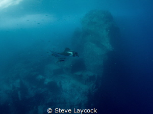 Manta cruising in Socorro by Steve Laycock
