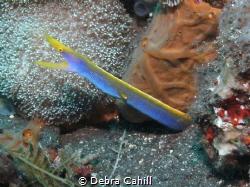 Blue Ribbon Eel Bali Indonisia by Debra Cahill