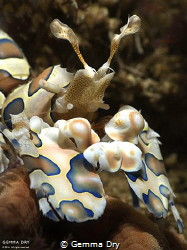 Harlequin Shrimp taken at Cathedral dive site on Aliwal S... by Gemma Dry