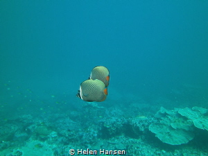 Butterfly fish by Helen Hansen