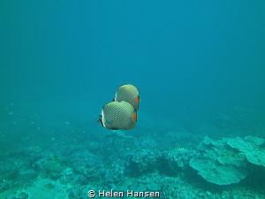 Butterfly fish by Helen Hansen