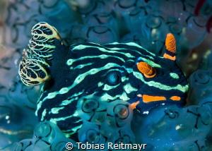 Nembrotha nudibranch, Puerto Galera by Tobias Reitmayr