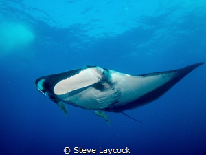 Oceanic Manta at Socorro isalnds by Steve Laycock