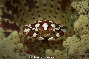 Crab in anemony by Uwe Schmolke