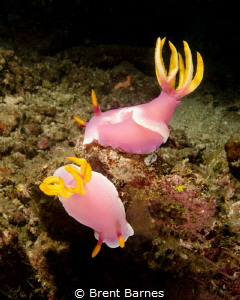 A pair of nudibranch at Lembeh Strait by Brent Barnes