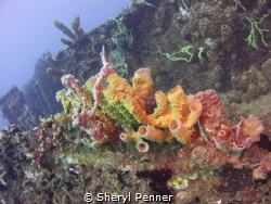 Growth on a wreck in Dominica, natural light. by Sheryl Penner