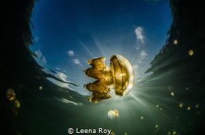 Feeding on light. Jellyfish in jellyfish lake by Leena Roy