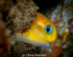 Golden Blennie, a beautiful little fish. by Chris Pienaar
