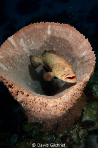 A tiger grouper hangs out in a Basket Sponge. by David Gilchrist