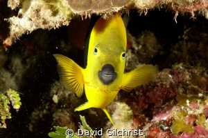 Rock Beauty peeks out from beneath coral. by David Gilchrist