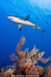 Sharks are the bomb diggity!  A reef shark glides over a ... by Susannah H. Snowden-Smith